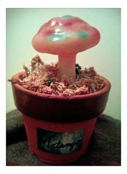 マタンゴの苗